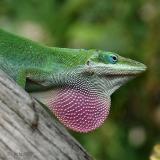 anole displaying dewlap