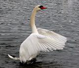 Mute Swans + Signets