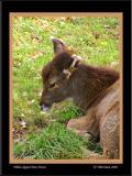 Thorold's White-lipped Deer Fawn