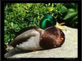 Common Duck / Uncommon Beauty