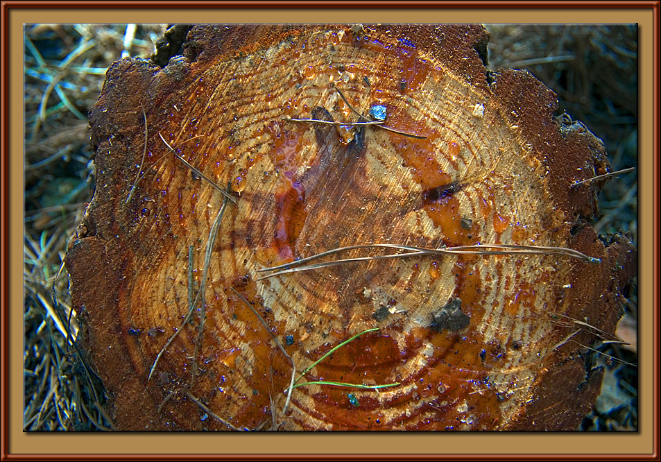 A stump of pine tree