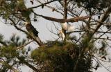 Eagle Bringing Dinner.jpg