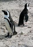 Jack-Ass Penguins