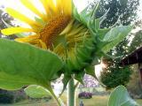 sunflower 35.jpg