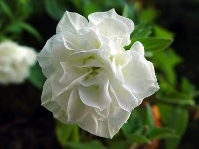 White Petunia.jpg