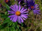 Flower Purple01697.jpg