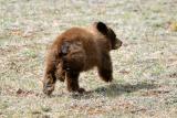 Bear Cub IV