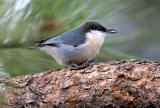 PYGMY NUTHATCH WITH SUNFLOWER SEED