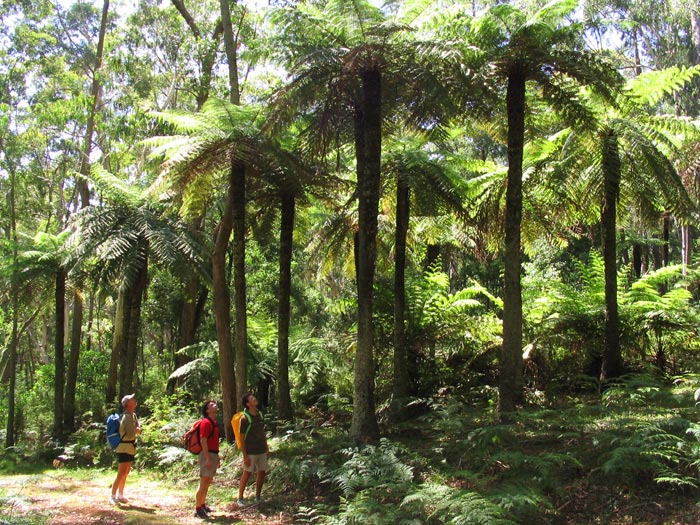 awesome tree ferns