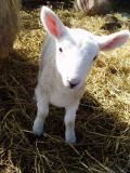 Lambing 2005