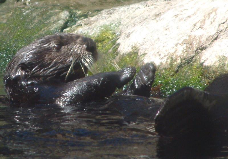 sea otter4.jpg