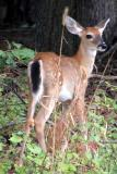 Fawn looks right.