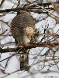Sharp-shinned-Hawk
