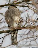 Sharp-shinned-.Hawk