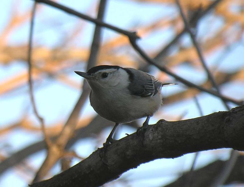 White-breasted Nuthatch - 1