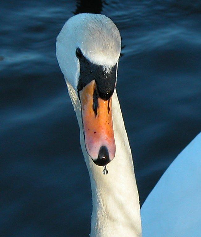 Swan 06