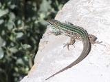 Lizard 'Chilling'