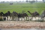 Camel herding.jpg