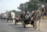 Camel procession.jpg