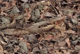 Large-tailed Nightjar.jpg