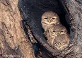 Spotted_Owlets.jpg