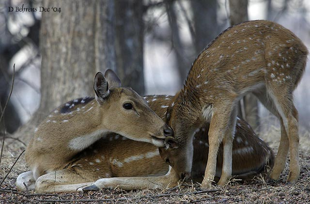 Chital doe and fawn.jpg