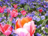 Centennial Park Tulips