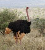 Ostrich, secretary bird, and bustards