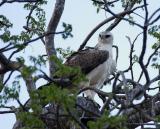 Martial Eagle, immature