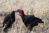 Southern ground-hornbills preening