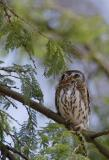 Pearl-spotted Owlet showing rear eyespots