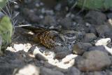 Slender-tailed Nightjar