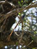 African paradise flycatcher rufous morph