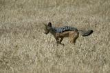 Jackals and hyenas