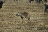 Hyena adult