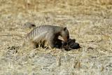 Mongoose, warthogs, and porcupine