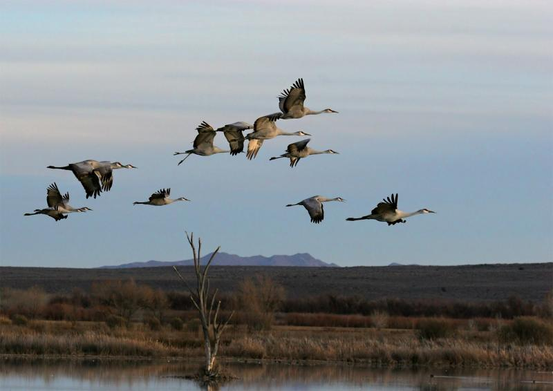 Sandhill-Cranes-over-pond.jpg