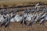 Cranes--Geese.jpg
