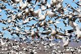 Geese-everywhere.jpg