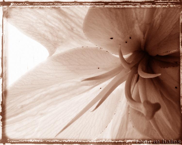 : Sepia Flower Framed :