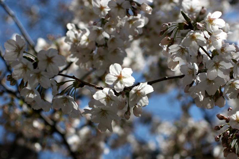 Cherry Blossoms at E 9th Street near 3rd Avenue