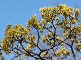 Yellow Cherry Dogwood - Cornus carnelian