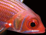longspine squirrelfish 2
