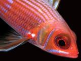 longspine squirrelfish 3