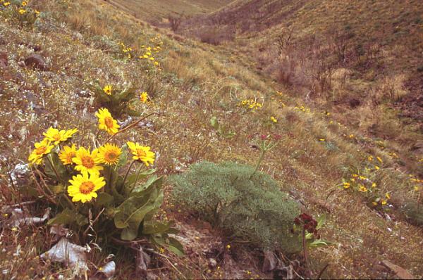 Arrow-leaved balsamroot landscape
