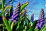 Mini Grape Hyacinth