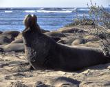 Ano Nuevo State Reserve - Northern Elephant Seals