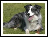 20050415 Megan the Welsh Collie