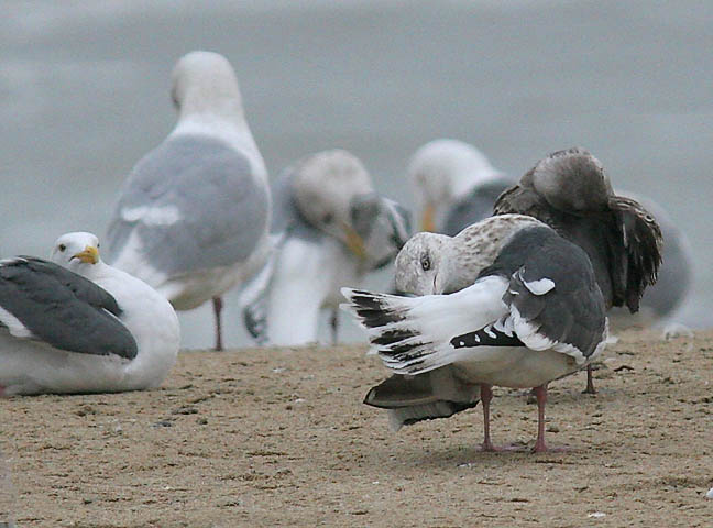 Slaty-backed Gull, 3rd cycle (#4 of 4)