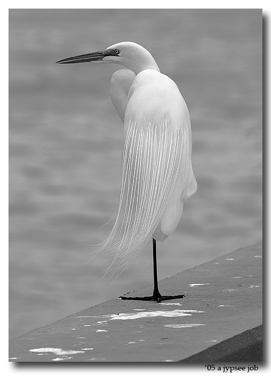 great egret on the seawall. in black and white